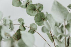 An image of eucalyptus branches