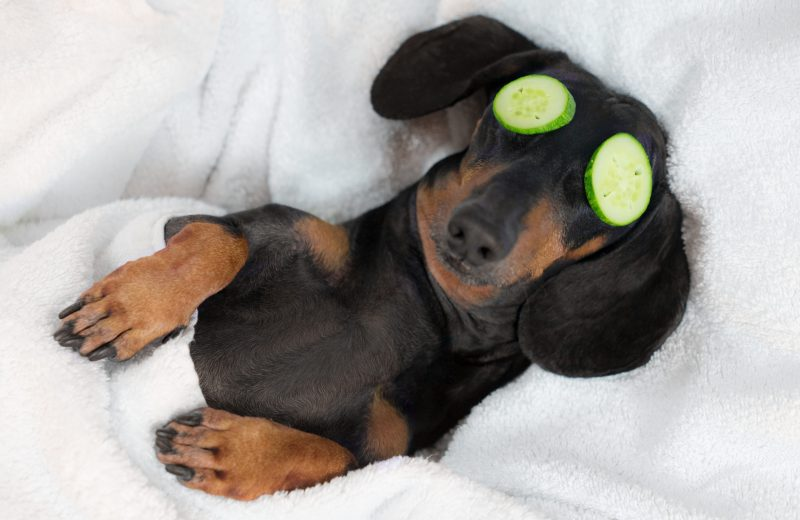 young dacshound pup lying on a pillow half covered by a blanket with cucumber slices over his eyes